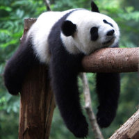 Panda on log   square profile